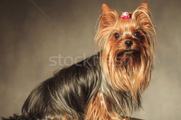 вид сбоку сидящий Йоркшир терьер щенков собака Сток-фото © feedough