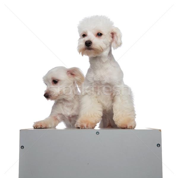cute bichon couple climbing a grey box Stock photo © feedough