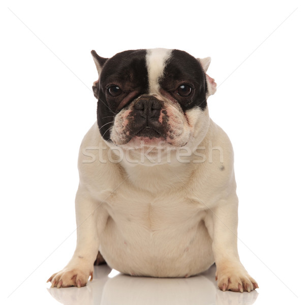 adorable little french bulldog lying down on his belly Stock photo © feedough