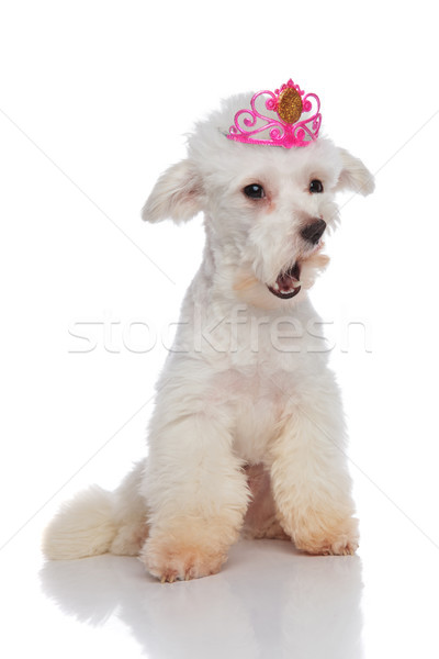 shocked bichon wearing a pink crown looks to side Stock photo © feedough