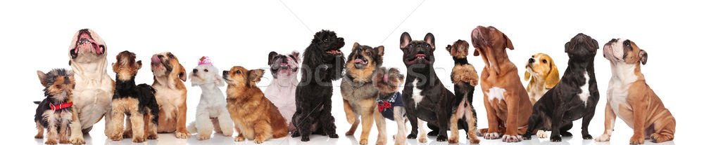 adorable group of many curious dogs of different breeds Stock photo © feedough