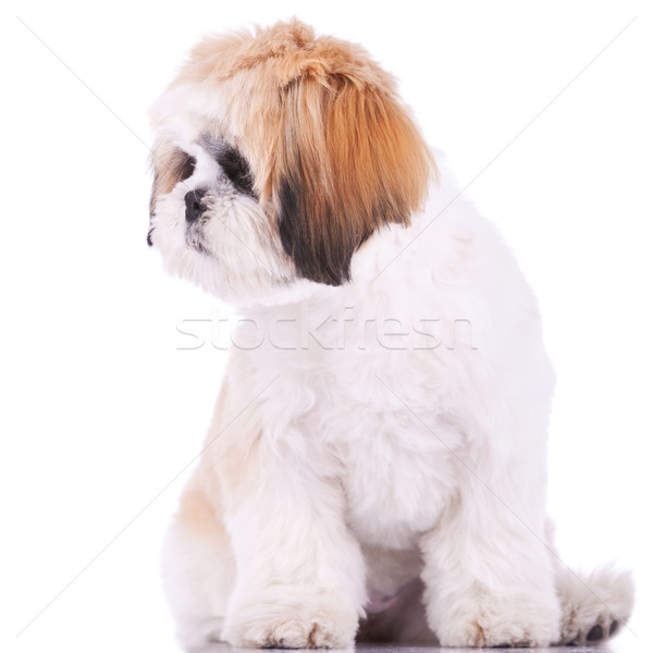 shih tzu looking at its side Stock photo © feedough
