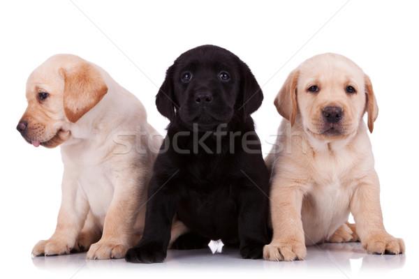 Stock fotó: Kicsi · labrador · retriever · kiskutyák · kettő · bézs · egy
