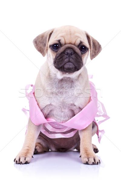 seated pug puppy dog wearing a pink dress Stock photo © feedough