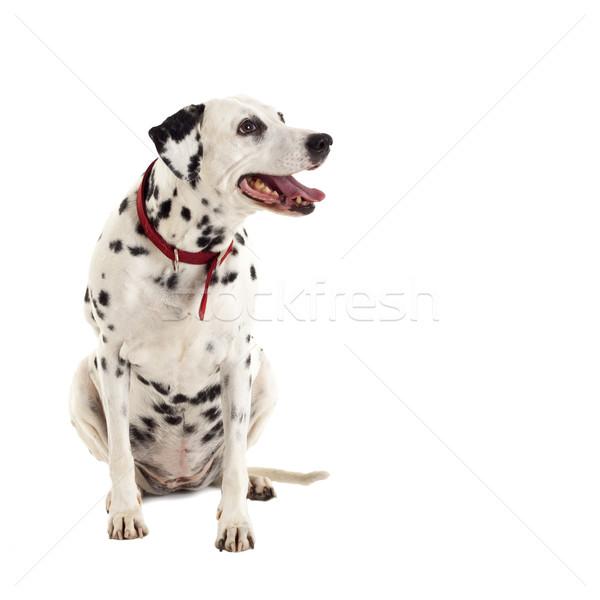 Kobiet dalmatyński posiedzenia biały psa Zdjęcia stock © feedough