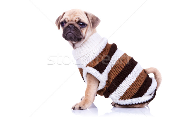 little mops puppy wearing clothes Stock photo © feedough