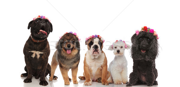 Lovely group of mixed dogs wearing flowers crowns Stock photo © feedough