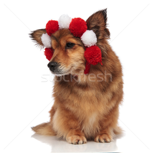 curious brown dog with fluffy white and red balls headband  Stock photo © feedough