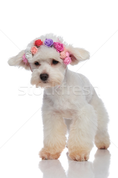 cute bichon wearing flowers headband looks down to side Stock photo © feedough