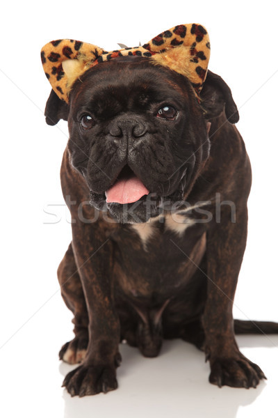 cute panting boxer wears leopard ears headband for Halloween Stock photo © feedough