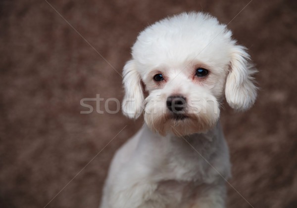 close up of lovely white bichon looking to side Stock photo © feedough