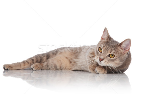 adorable grey cat lies down and looks to side Stock photo © feedough