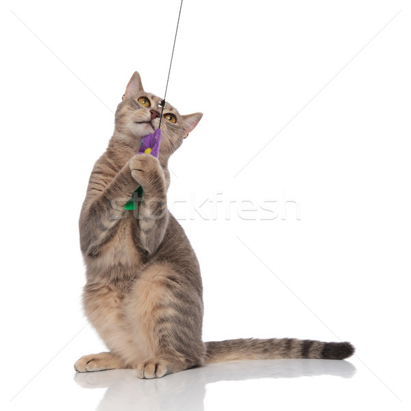 playful gray cat standing and holding teaser toy Stock photo © feedough