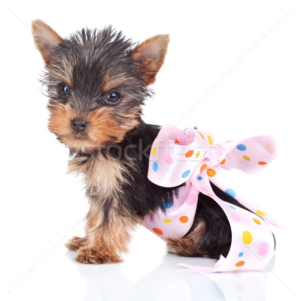 yorkie toy in a pinky bow  Stock photo © feedough