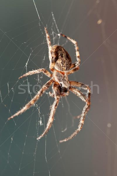 Kereszt pók gyönyörű háló oldalnézet kert Stock fotó © feedough