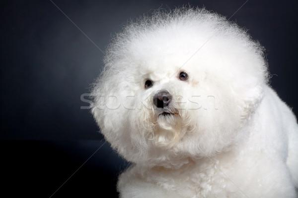 cute bichon frise head Stock photo © feedough