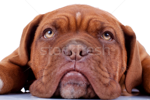 french mastiff's sad eyes  Stock photo © feedough