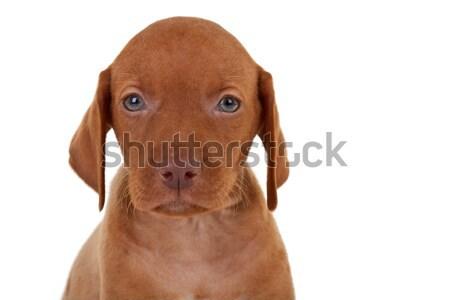 baby vizsla dog Stock photo © feedough