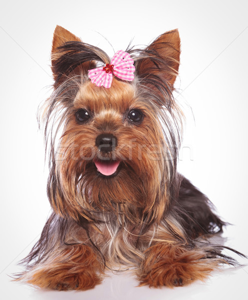 happy yorkshire terrier puppy dog lye down Stock photo © feedough
