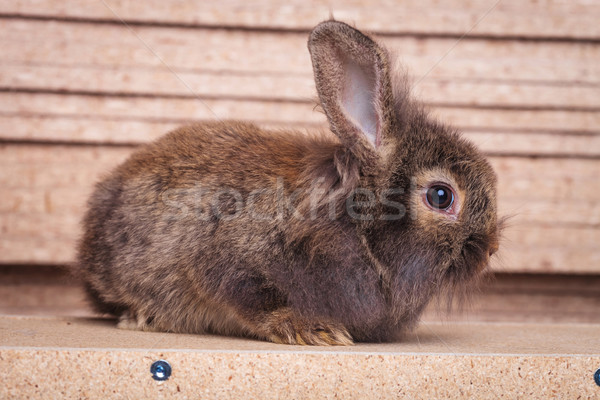lion head rabbit bunny sitting on a wood background. Stock photo © feedough