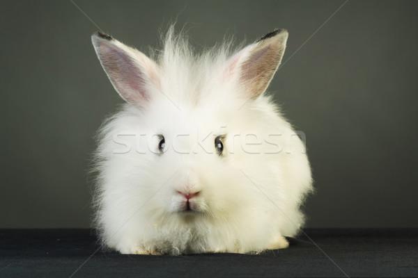 cute white rabbit with big ears   Stock photo © feedough