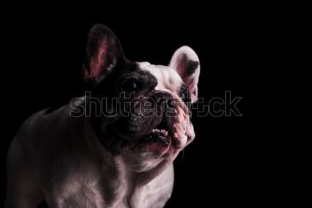 французский бульдог готовый укусить черный Сток-фото © feedough