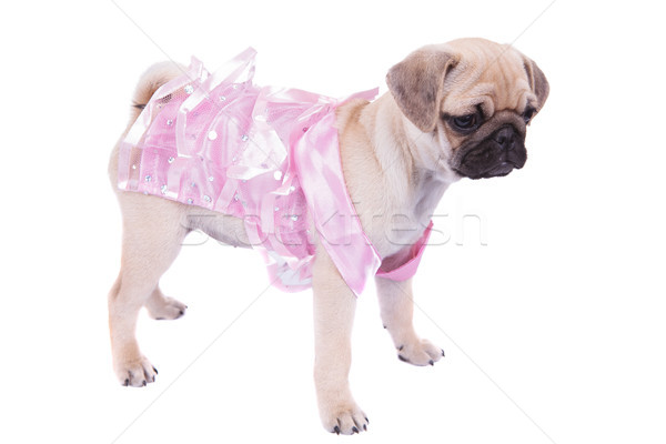 side view of pug in pink dress looking down to side Stock photo © feedough