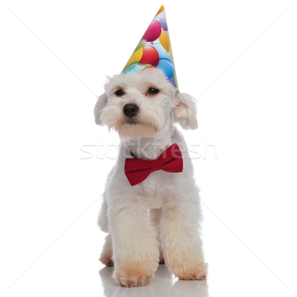 birthday bichon with red bowtie is looking for presents Stock photo © feedough