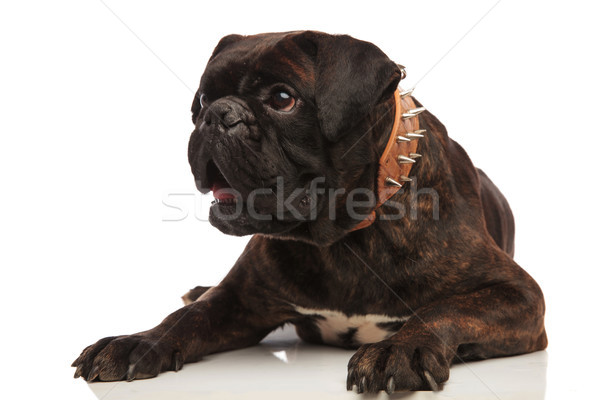 cute surprised boxer with spiked collar looks to side Stock photo © feedough