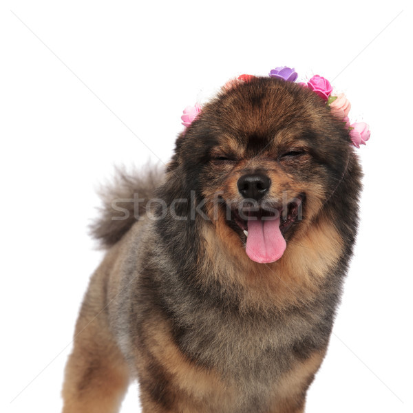 happy and relaxed pomeranian with flowers crown standing Stock photo © feedough