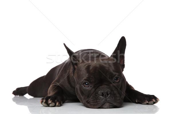 Imádnivaló álmos fekete francia bulldog fehér Stock fotó © feedough
