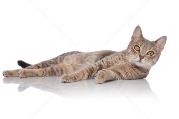 side view of surprised metis cat lying and looking up Stock photo © feedough