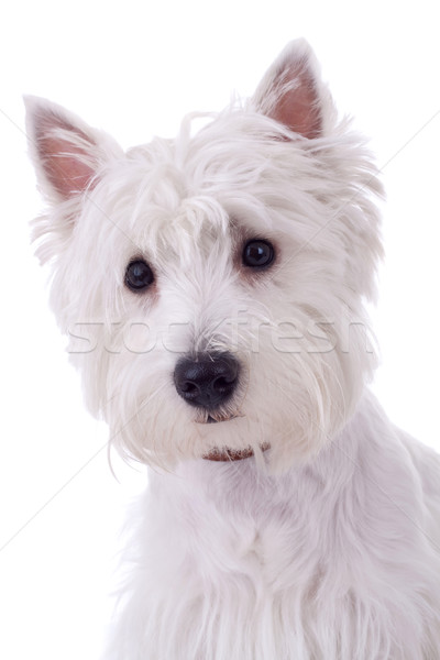 West Highland White Terrier Stock photo © feedough