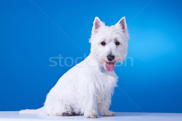 small westie with mouth open Stock photo © feedough