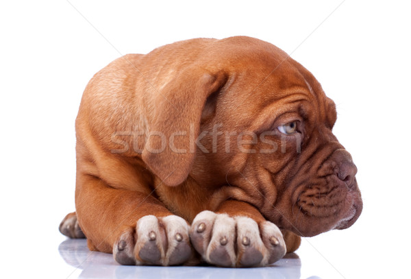 seated Puppy of Dogue de Bordeaux Stock photo © feedough