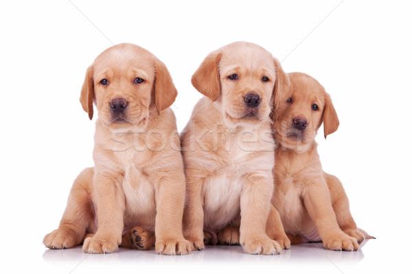 Stok fotoğraf: üç · labrador · retriever · köpek · yavrusu · köpekler · oturma · bakıyor