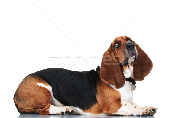 curious basset hound lying down Stock photo © feedough