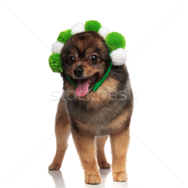lovely pomeranian with white and green balls headband panting Stock photo © feedough