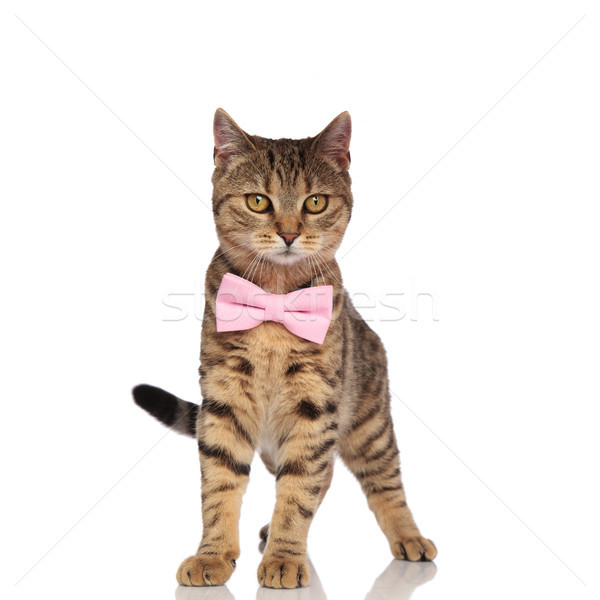 stylish british fold cat standing and looking to side Stock photo © feedough