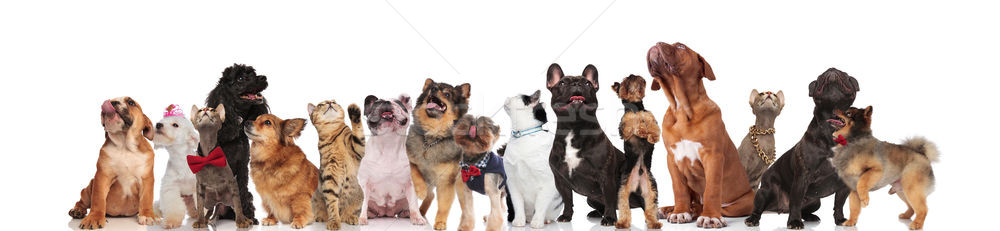 adorable team of dogs and cats of different breeds Stock photo © feedough