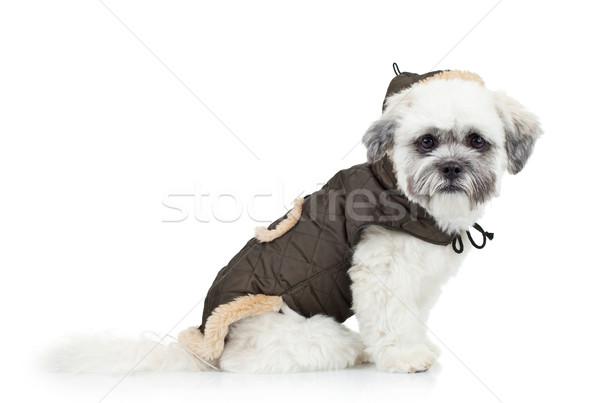 Stok fotoğraf: Havanese · köpek · yavrusu · oturma · beyaz · elbise · evcil · hayvan