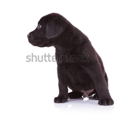 Meraklı siyah labrador retriever bakıyor doğru yan Stok fotoğraf © feedough