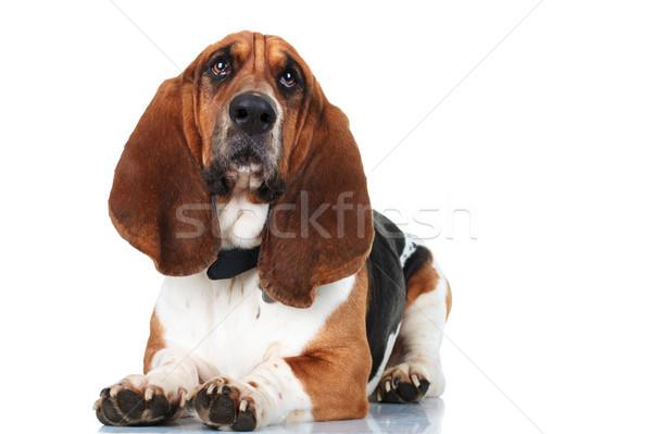 Cute гончая собака фон голову Сток-фото © feedough