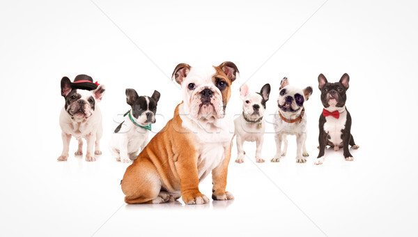 english bulldog puppy leading a team of french bulldogs Stock photo © feedough