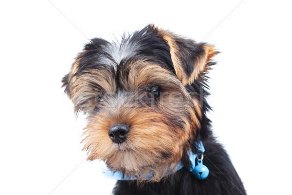side of a little yorkie's head looking away  Stock photo © feedough