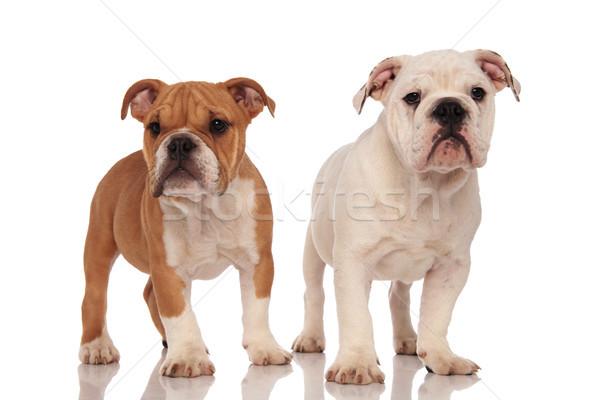 brown and white english bulldog puppies Stock photo © feedough