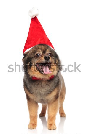 santa pomeranian with red bowtie looks up to side Stock photo © feedough