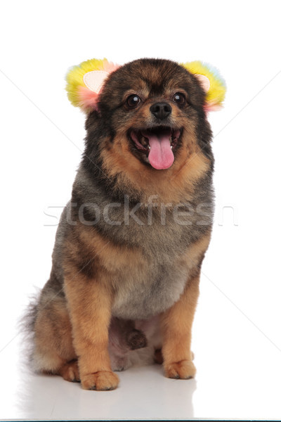 excited seated pomeranian dressed as bear for halloween is panti Stock photo © feedough