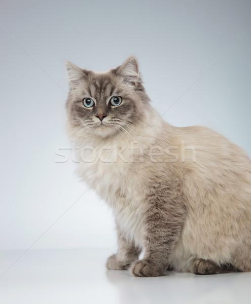 Vue de côté chat yeux bleus séance gris bleu Photo stock © feedough