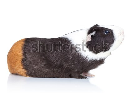 Adorable black guinea pig Stock photo © feedough